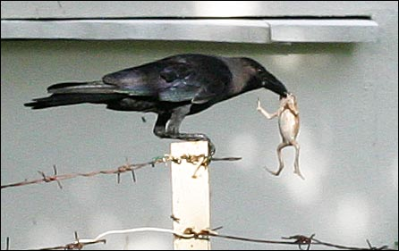 crow_eating_toad.jpg