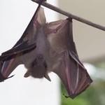 Common Fruit Bat