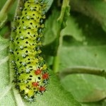 Crecopia Caterpillar