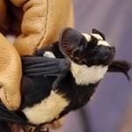 Bumble Bat