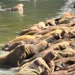 Bristol Bay Walrus - Live Cam