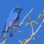 Mountain Bluebird & Birding News