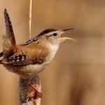 Marsh Wren & Birding Newsl