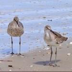 Willet Shorebirds