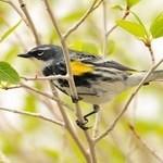 Yellow-rumpled Warbler & Birding News