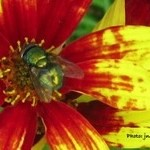 Living With Green Bottle Fly