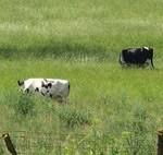 Ya gotta have a Cow