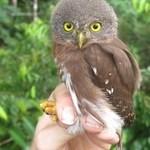 Amazon Pygmy-Owl